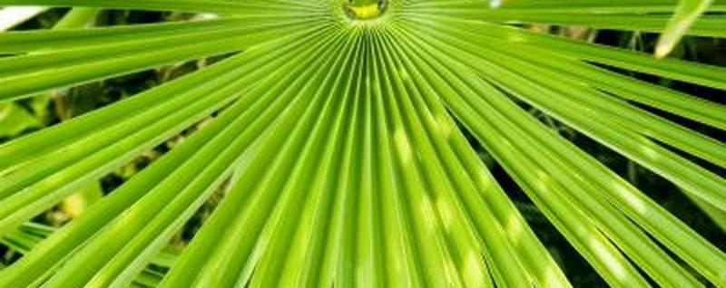 Карликовая пальма против аденомы простаты